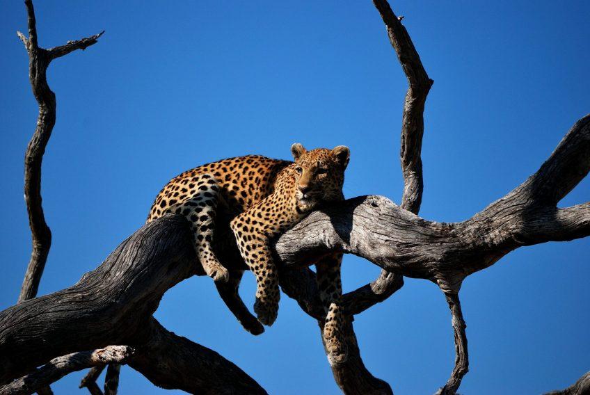 deze jaguar heeft geen zin in notuleren
